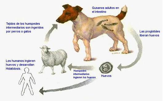 ciclo parásitos