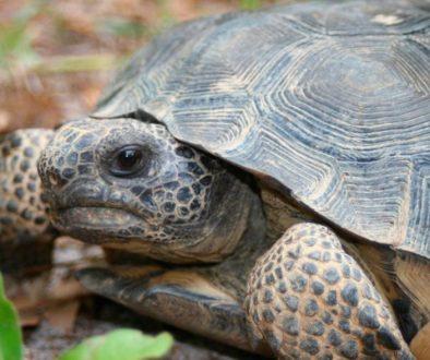tortugas-terrestres
